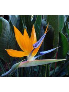 Hirts: Seed; Bird of Paradise height  nelson mandelas